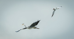 """Help!"" (DP the snapper) Tags: worcestershirewildlifetrust birds bird heron uptonwarren blackheadedgull sound angry"