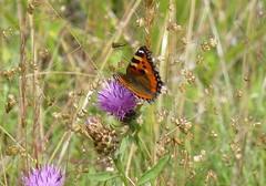 Tortoishell butterfly2 (Steeple Ducks) Tags: butterfly butterflies wiltshire upton scudamore a350 bank embankment verge road