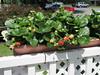 ** Mini-Fraisière ** (Impatience_1 (peu...ou moins présente...)) Tags: minifraisière fraisière fraisier fragaria fraise strawberry fruit patio m impatience saveearth supershot coth abigfave coth5 sunrays5 alittlebeauty