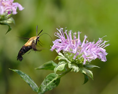 Snowberry clearwing (Hemaris diffinis) (TrombaMarina) Tags: snowberry clearwing wild bergamot butterfly hemaris diffinis monarda fistulosa