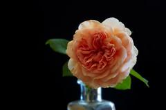 Abraham D'Arby (macplatti) Tags: roses abrahamdarby garden beauty koblach vorarlberg austria aut rose green black blue apricot apricose davidaustin flower blume