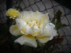 So refreshed (MissyPenny) Tags: rose garden white raindrops bristolpennsylvania usa yellow paleyellow pdlaich