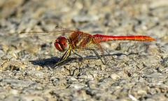 Malinovordeči kamenjak 2 (Bojan Ž.) Tags: dragonfly bird animal wildlife malinovordečikamenjak sympetrumfonscolombii nature