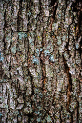 Misc. Outdoors-69.jpg (Drew Rampley) Tags: brown flat lichen oak rough texture tree treebark winter woods