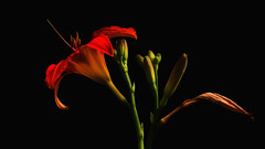 The Past, Present & Future (Bob's Digital Eye) Tags: softfocus 2017 abstract bobsdigitaleye canon canonefs55250mmf456isstm flicker flickr flower garden lilys plants t3i