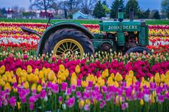 Old Among New (ahockley) Tags: farmequipment flowers johndeere oregon plants tractor tractors tulipfestival tulips woodburn woodenshoetulipfestival