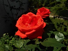 Blood red rose, the queen of the garden (vidaficko) Tags: blood red rose queen garden