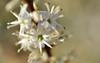 A face in the flower (werdsmyth_2000) Tags: white flower macro water face closeup depthoffield stamen bud ysplix