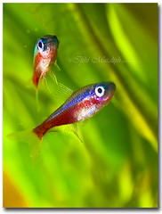 Neon Tetra (I f t h i ~ M u t a l i p h) Tags: fish neon tetra tropicalfish neontetra efs60mmmacro