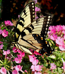 Wings (bdaryle) Tags: pink flower nature yellow butterfly insect wings sony flor flutterby easterntigerswallowtail brandondaryle bdaryle imagesbybrandon