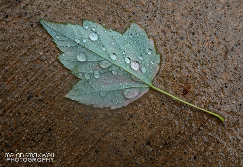 062710_Wet Leaf_MRM