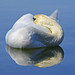 Swan - Still and Reflection