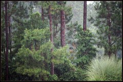 When the rain came... (Beth*1216) Tags: trees rain pines ferns