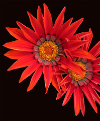 red on black (moelynphotos) Tags: flowers red newyork garden longisland onblack potofgold thesuperbmasterpiece rainbowelite