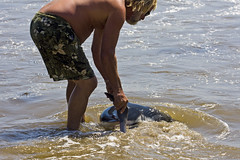 Infant Great White Shark, Pup, being Rescued, Turned Out to Sea 7438.4j (Kurt Preissler) Tags: sea people mer beach coast sand infant pacificocean shore coastline scenes greatwhiteshark santabarbaracounty littoral canoneos5d kurtpreissler preisslermediaservices