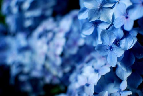 フリー写真素材, 花・植物, アジサイ科, 紫陽花・アジサイ, 青色の花,