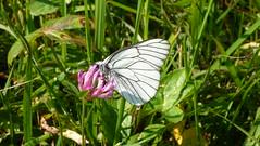 Black-Veined White Baumweißling (Aah-Yeah) Tags: white black butterfly bayern schmetterling achental veined chiemgau aporia crataegi tagfalter marquartstein baumweisling
