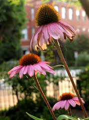 Coneflowers and Spider Webs (Kurlylox1) Tags: windows light summer fence purple bokeh coneflower capitolhill spiderwebs echinacia fencekeh