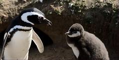 Scolding the baby penguin / Rega