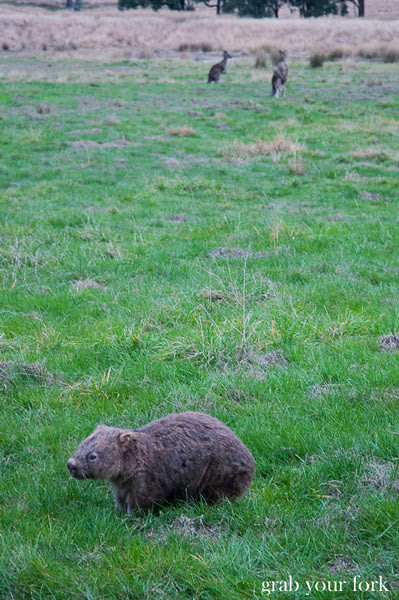 wombat and kangaroos in wolgan valley