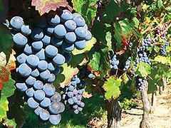 Temen subas del precio de uvas finas por las heladas en Mendoza