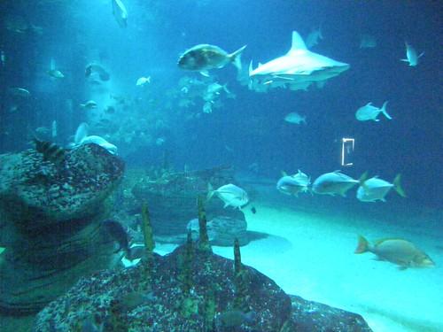 155.Tiburón