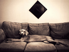 sofa queen (saikiishiki) Tags: dog hot love beautiful out amazing long sweet head gorgeous queen couch weimaraner elegant stretched tilt velvety omoshiroi weim mukha chocolately thelittledoglaughed