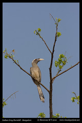 Indian Grey Hornbill (M V Shreeram) Tags: india bird nature birds vertical canon wildlife bangalore aves ave karnataka avifauna ocycerosbirostris bucerotidae hesaraghatta 300mmf4is 40d indiangreyhornbill visualquotient wwwvisualquotientnet
