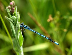 Common Blue Damselfly (saxonfenken) Tags: motif insect dragonfly july superhero thumbsup wildflower storybook damselfly e30 2010 118 bigmomma gamewinner challengewinner friendlychallenge fotocompetition fotocompetitionbronze yourock1stplace herowinner pregamewinner 118insect