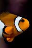 Pez payaso (alejocock) Tags: ocean sea pez mar photographer colombian lisboa pesca acuario oceano oceanario aquaticlife acock alejocock httpsurealidadblogspotcom alejandrocock vidaacuátic fishacockalejocockalejandrocockcolombianhttpsurealidadblogspotcomphotographer