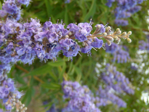 purpleb;oom.jpg