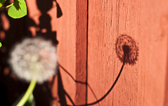 shadow on the wall (redstarpictures) Tags: wood shadow red plant flower rot wall suomi finnland wand dandelion holz schatten pusteblume loewenzahn varjo voikukka pareinen