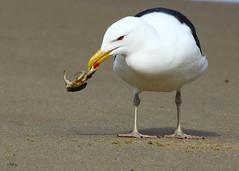 Last Grasp (gatordr) Tags: bird capecod gull massachusetts woodshole behavior herringgull