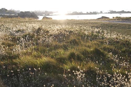 Golden field of Brignogan 4