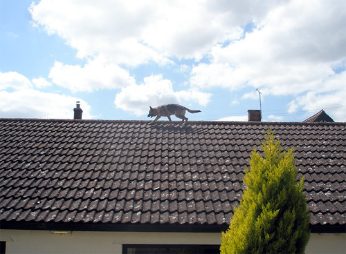 A tile roof with a medium-steep pitch.  Up near the ridge, a German Shepherd, tan with a black saddle, trots along with very little concern.  How surreal.