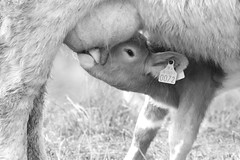 Bag Lunch (annemconnor@yahoo.com) Tags: family ireland blackandwhite cow milk healthy cattle feeding young mother drinking pasture newborn hungry calf bovine thirsty offspring udder teat babyanimal
