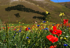 Our_Country (Massimo Valiani) Tags: flowers trees red summer sky italy grass yellow proud grande amazing earth blu sony country nation violet umbria massimo norcia castelluccio pian fioritura a350 valiani