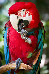 Macaw At San Diego Wild Animal Park (Kartik J) Tags: red usa color cute bird us colorful sandiego sony parrot macaw wildanimalpark sonycamera escondido sandiegowildanimalpark cuteanimal a500 cutebird sonydigitalslr sonyalphadslr sal70300gssm sonya500 sonydslra500 sonyalphadslra500