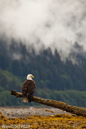 Bald Eagle, Juneau, AK