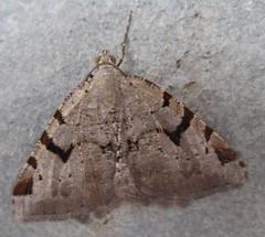 V moth