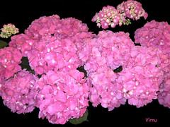 Flores 182 (VRNU) Tags: flores vrnu floresporlapaz giveme5awardthenext5pictures stunningnatureonblack