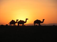 Sahara Sunset (jleathers) Tags: sunset sahara silhouette desert morocco berber camels zagora