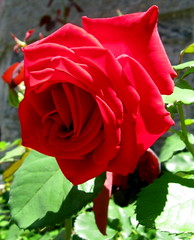 Beautiful Red Rose by My Beautiful Wife (Puzzler4879) Tags: flowers roses powershot coldspring redroses redflowers canondigital floralfantasy wonderfulphotos canonpointandshoot fantasticflower coldspringnewyork a580 ourladyofloretto wonderfulworldofflowers canona580 canonpowershota580 powershota580 awesomeblossoms naturewithallitswonders