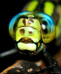 Southern Hawker (FLASH MEDIA CREATIONS) Tags: pictures nottingham uk wild india macro nature birds animals advertising photography fly amazing interesting nikon dragonfly pics fashionphotography wildlife creative insects lakeside southern micro ram tamilnadu hawker coimbatore flys designing migrant universityofnottingham professionalphotography foodphotography cbe productphotography prasanth fmc industrialphotography highfieldspark advertisingphotography ramprasanth jewelleryphotography photographycompany designinglogo flashmediacreations productphotographyincoimbatore industrialphotographyincoimbatore professionalphotographysolutions photographyprintinglogo coimbatoreweb ramprasanthphotography