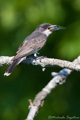 Eastern Kingbird with lunch (~ Michaela Sagatova ~) Tags: bird nature bug flycatcher easternkingbird tyrannustyrannus michaelasagatova