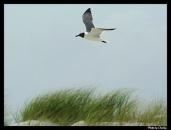 Seagull over a sand dune (char1iej) Tags: beach canon eos 350d rebel xt nc seagull dunes photowalk sunsetbeach charliej