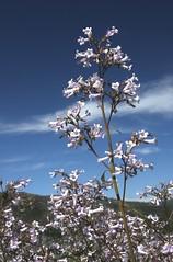 Yerba Santa (Ron Wolf) Tags: california flower nature vertical nationalpark sierra yosemitenationalpark shrub wildflower eriodictyoncalifornicum hetchhetchyvalley