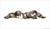 Sleeping kitties (pascalbovet.com) Tags: baby white animal cat sweet kitty kittens onwhite puss pussycat kittycat susten mazjini