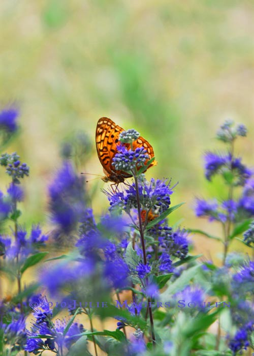 Orange butterfly on purple catmint flower.