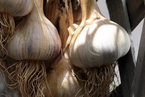garlic 017